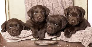 chocolate lab puppies.  Puppies Chocolate Lab  Your Perfect Companion In Chocolate Lab Puppies The Labrador Site