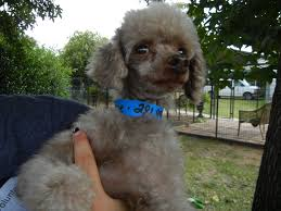 houston tx poodle toy or tea cup meet rene boy a pet for adoption