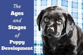 ses of puppy devlopment written beside a black puppy