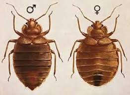 Bed Bugs Pictures Actual Size Stages And Skin Bites