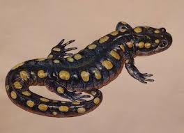тату саламандра татуировки 25 фото