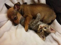cute puppy and kitten best friends. Delighful Cute Chihuahuapuppyandkittenbestfriends6 To Cute Puppy And Kitten Best Friends E