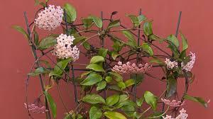 You will receive a small living plant (not flowery): La Flor De Cera Hoya Carnosa Rapida Colgante Y Perfumada Agromatica