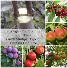 5 In 1 Grafted Tree  Has 5 Different Fruit Trees Grafted On To Different Fruit Trees