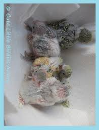Parakeet Growth Chart From Hatching To 8 Weeks Watch A Baby Grow Up Cute Little