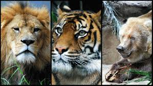 Image result for images of lions, tigers and bears