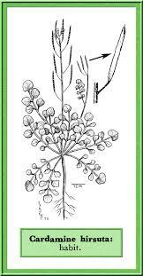 Cardamine hirsuta in Flora of Pakistan @ efloras.org