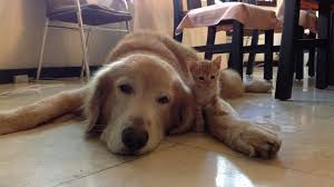 golden retriever puppy and kitten.  Puppy Golden Retriever And Kitten Are Adorable Best Friends With Puppy