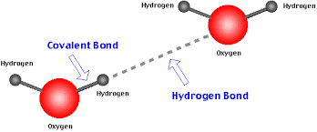 Hydrogen Bonding How Are Hydrogen Bonds Related To Cohesion Example