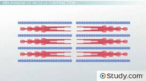 Muscle Location And Function Chart Muscle Contraction Actin And Myosin Bonding