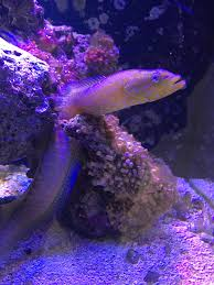 Dottyback Compatibility Chart Green Wolf Dottyback Commonly Called A Green World Eel