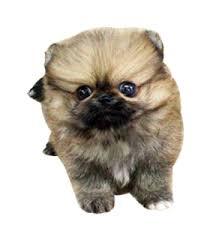 black pomeranian teddy bear cut. Contemporary Bear Mini Teddy Bear Puppy With Black Pomeranian Cut Y