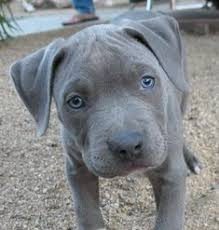 The american staffordshire terrier and the staffordshire bull terrier descended from the same lines. 20 Blueline Pitbull Ideen Blueline Pitbull Hunde Schone Hunde