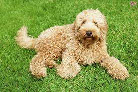 Labradoodle Designer Dogs The Next Candidate On The Hollywood Walk Of Designer Dogs Is
