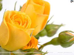 Single Yellow Rose Wallpaper posted by ...