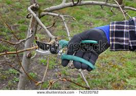 Image result for hand pruning tree pic