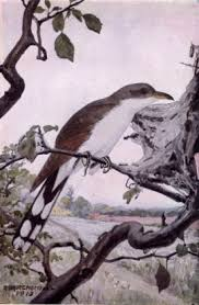 cuckoo definition etymology and usage examples and related words yellow billed cuckoo
