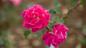 ooty rose garden which includes a garden and flowers