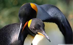 penguin love wallpaper. Plain Love Wide  And Penguin Love Wallpaper I