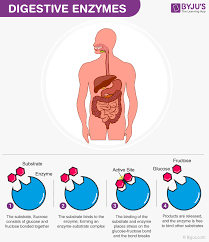 Human Digestive Enzymes Chart Digestive Enzymes And Its Types Amylase Protease And Lipase