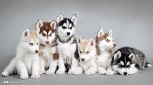 cute husky puppies with blue eyes wallpaper
