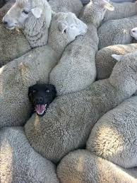 When you lied on your CV about having sheepdog experience.
