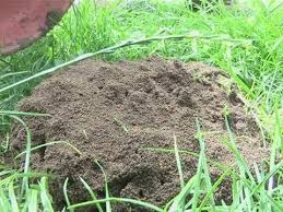 garden ants. How To Eliminate Ants From Your Garden