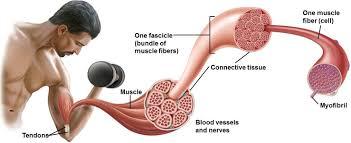 miofibras ta para ganar masa muscular
