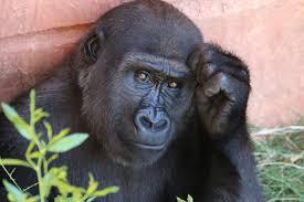 Fotos gratis : naturaleza, animal, masculino, fauna silvestre, Zoo, África,  mamífero, pensativo, primate, gorila, chimpancé, mono, vertebrado, expresivo,  Gorila occidental, gran Simio, Chimpancé común 5472x3648 - - 838589 -  Imagenes gratis - PxHere