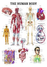 Laminated Anatomy Charts The Human Body Laminated Anatomy Chart Amazon Com