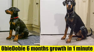 Timelapse Of Doberman Puppy From 8 Weeks To 6 Months Hd 4k