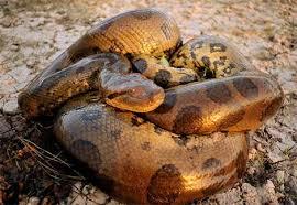 amazon rainforest animals anaconda. Amazon Rain Forest Anaconda For Rainforest Animals