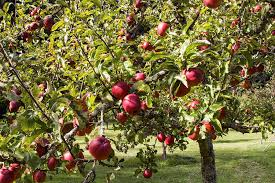 128 Best Garden DelightsAwwww Nuts Images On Pinterest  Fruit Fruit And Nut Trees