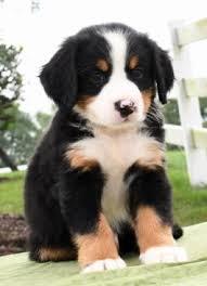 bernese mountain dog puppies. Unique Dog Cassidy  Bernese Mountain Dog Puppy For Sale In Warsaw OH  Lancaster  Puppies Inside G