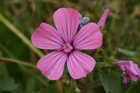 Lavatera punctata All. | Flora of Israel Online
