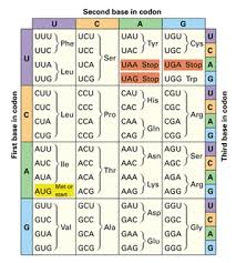 Protein Synthesis And Codons