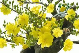 Kết quả hình ảnh cho Hoa mai , mùa đông