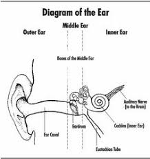 diagram of the parts of a flower homeschool, teaching plants and Diagram Of Human Ear For Class 8 the ear ) my fave diagram of human ear for class 8