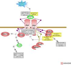 Adrenergic Receptors Chart Adrenergic Receptors