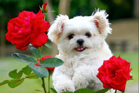 White Wallpaper Most Beautiful Cute Puppies