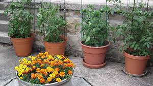 container gardening tomatoes.  Container How To Grow Tomatoes In Pots Row Of Tomato Plants Growing Pots Throughout Container Gardening Bonnie Plants