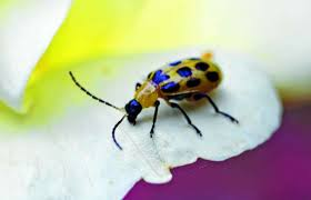 Corn Flea Beetle Common Agricultural Pests In Corn Jacksonville Journal Courier