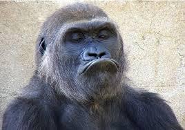 Image result for смешные гориллы