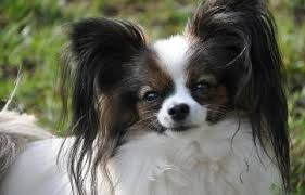 Papillon Growth Chart Stages Of Hair Growth In A Papillon Phalene Dog