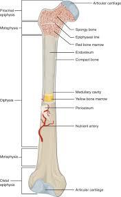 Ankle Bone Chart Long Bone Wikipedia