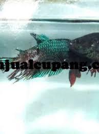 Obat Ikan Cupang Aduan Alami