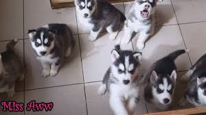 cute dogs and puppies husky. Beautiful Husky Cute Husky Puppies First Time Howling And Barking For Dogs E