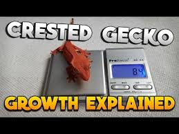 How Big Should My Crested Gecko Be Crested Gecko Growth