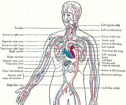 purpose of the circulatory system purpose of the circulatory system human anatomy library purpose of the circulatory system