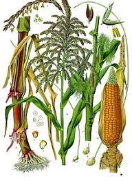 Maize Wikipedia
